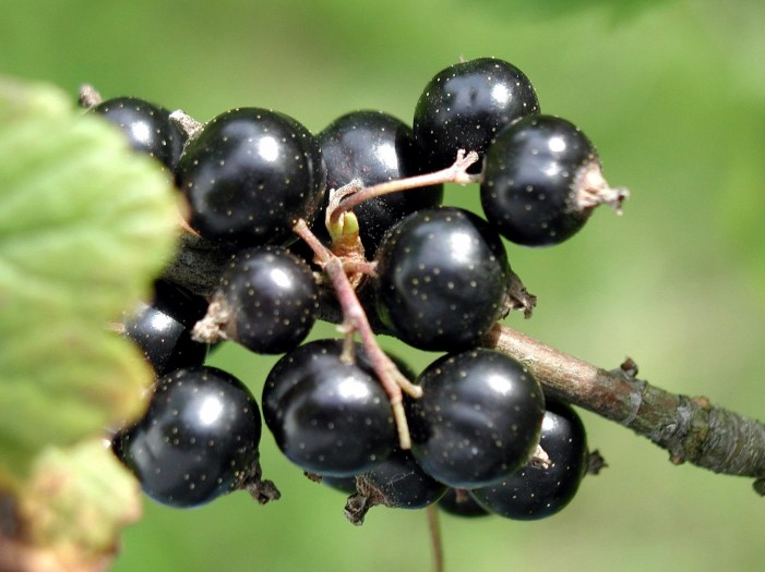 Black currant Independence MO