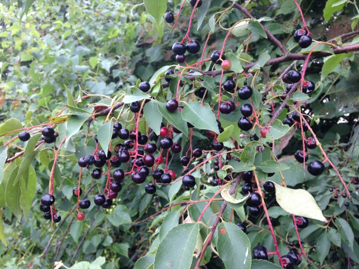 Wild Black Cherries Kansas City